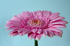 Flor rosada del gerbera con gotas del agua Fotos de archivo