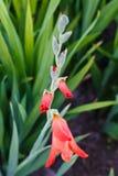 Flor rosada del gladiolo Foto de archivo libre de regalías