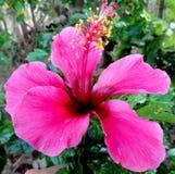 Flor rosada del gumamela Imagen de archivo libre de regalías
