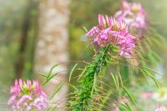 Flor rosada del hassleriana del Cleome en el jardín Especie de Cleome Fotografía de archivo