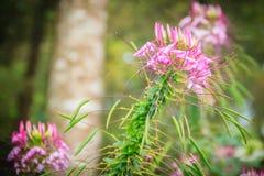 Flor rosada del hassleriana del Cleome en el jardín Especie de Cleome Foto de archivo