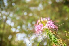 Flor rosada del hassleriana del Cleome en el jardín Especie de Cleome Fotos de archivo