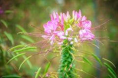 Flor rosada del hassleriana del Cleome en el jardín Especie de Cleome Imagen de archivo