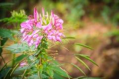 Flor rosada del hassleriana del Cleome en el jardín Especie de Cleome Fotos de archivo libres de regalías