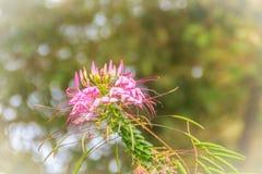 Flor rosada del hassleriana del Cleome en el jardín Especie de Cleome Imagen de archivo libre de regalías