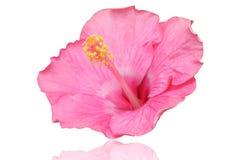 Flor rosada del hibisco imagen de archivo libre de regalías