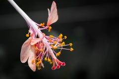 Flor rosada del hibisco Fotos de archivo