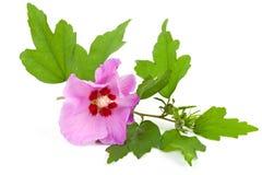 Flor rosada del hibisco Foto de archivo libre de regalías