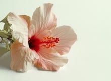 Flor rosada del hibisco Imagenes de archivo