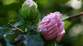 Flor rosada del hibisco metrajes