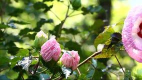Flor rosada del hibisco almacen de metraje de vídeo