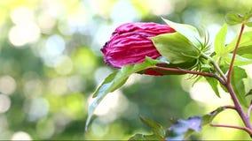 Flor rosada del hibisco almacen de video