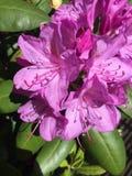 Flor rosada del hibisco Imágenes de archivo libres de regalías