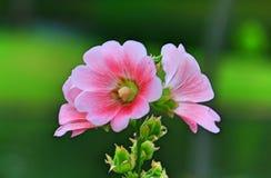 Flor rosada del hibisco Foto de archivo