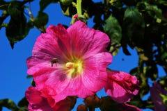 Flor rosada del hibisco con la abeja Foto de archivo libre de regalías