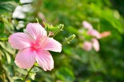 Flor rosada del hibisco de la falta de definición Foto de archivo
