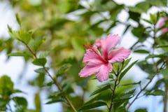 Flor rosada del hibisco en un jardín fotos de archivo
