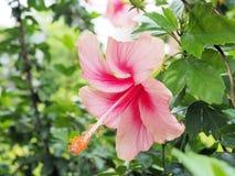 Flor rosada del hibisco que florece en el jardín Flor rosada en el b Foto de archivo libre de regalías