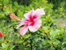 Flor rosada del hibisco que florece en el jardín Flor rosada en el b Fotografía de archivo libre de regalías