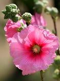 Flor rosada del Hollyhock Fotografía de archivo