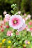 Flor rosada del Hollyhock Imagenes de archivo