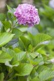 Flor rosada del hydrangea fotografía de archivo