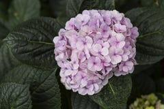 Flor rosada del hydrangea Imagenes de archivo