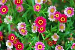 Flor rosada del Ilex de Pendula Imagen de archivo libre de regalías