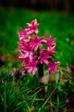 Flor rosada del jacinto Foto de archivo libre de regalías