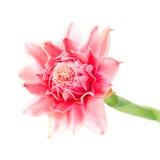 Flor rosada del jengibre de la antorcha Foto de archivo libre de regalías