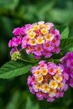 Flor rosada del lantana Imágenes de archivo libres de regalías
