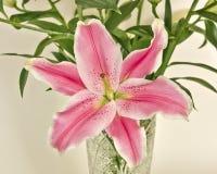 Flor rosada del lilium Foto de archivo