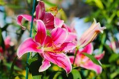 Flor rosada del lirio 21-12-17 Imágenes de archivo libres de regalías