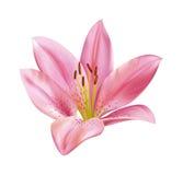 Flor rosada del lirio stock de ilustración