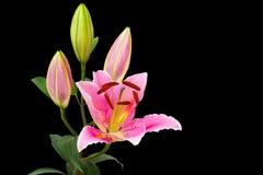 Flor rosada del lirio Imágenes de archivo libres de regalías