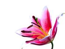 Flor rosada del lirio Fotografía de archivo