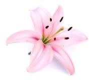 Flor rosada del lirio Imagen de archivo