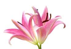 Flor rosada del lirio Fotos de archivo