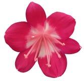 Flor rosada del lirio, aislada con la trayectoria de recortes, en un fondo blanco pistilos rosas claros, estambres centro blanco- Imagen de archivo