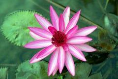 Flor rosada del lirio de agua Imagenes de archivo