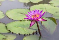 Flor rosada del lirio de agua del loto que florece en el lago Fotos de archivo libres de regalías