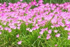 Flor rosada del lirio de la lluvia Imagen de archivo libre de regalías