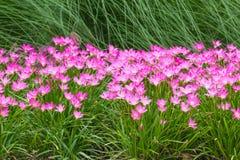Flor rosada del lirio de la lluvia Fotos de archivo libres de regalías