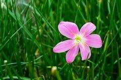 Flor rosada del lirio de la lluvia Fotografía de archivo libre de regalías