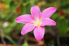 Flor rosada del lirio de la lluvia (flor de los zephyranthes) Foto de archivo