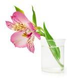 Flor rosada del lirio en el florero Fotos de archivo libres de regalías