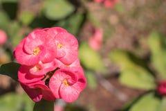 Flor rosada del milii del euforbio Foto de archivo