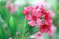 Flor rosada del Oleander Foto de archivo libre de regalías