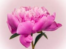 Flor rosada del paeony Foto de archivo