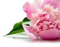 Flor rosada del peony Imagenes de archivo